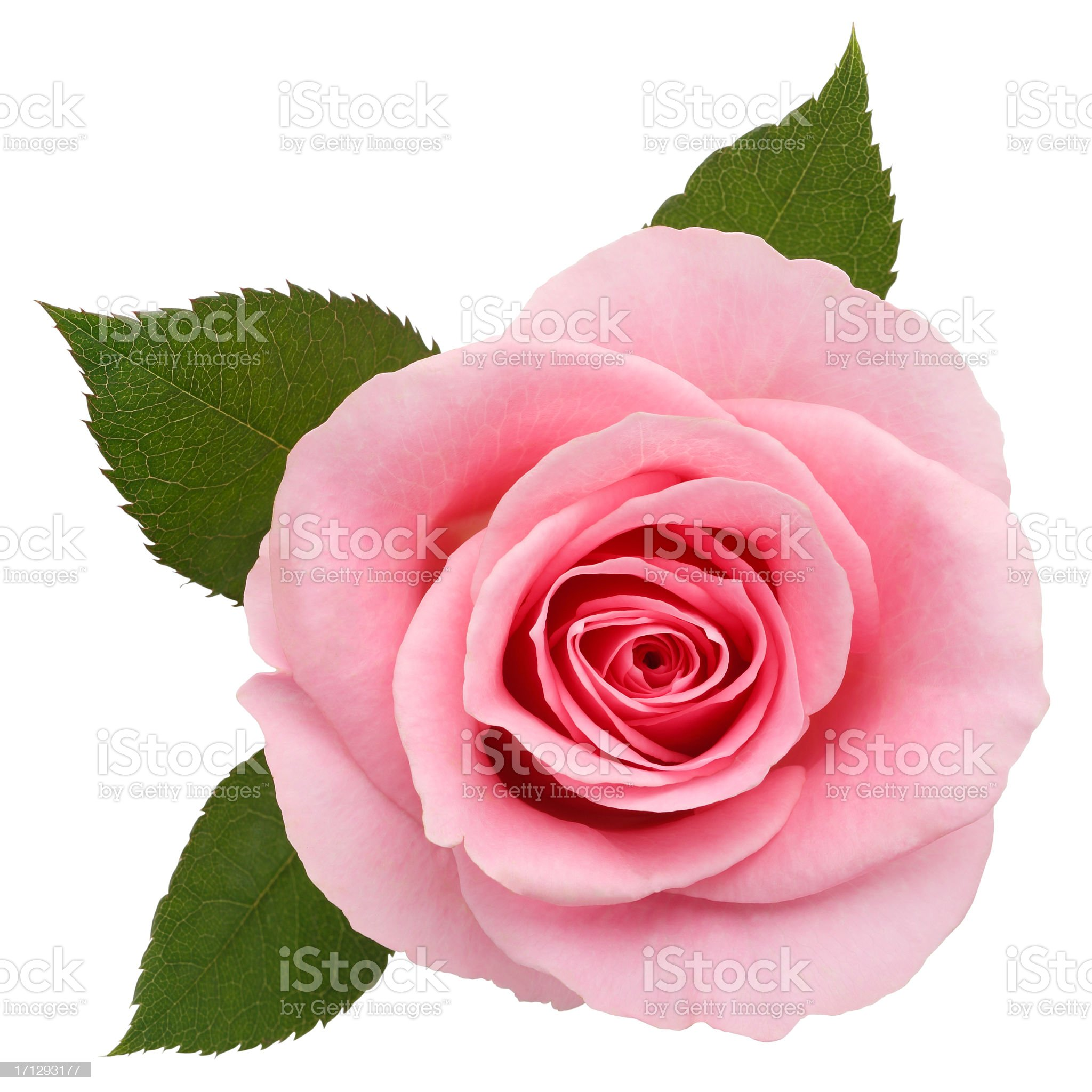 One pink rose on a white backdrop royalty-free stock photo