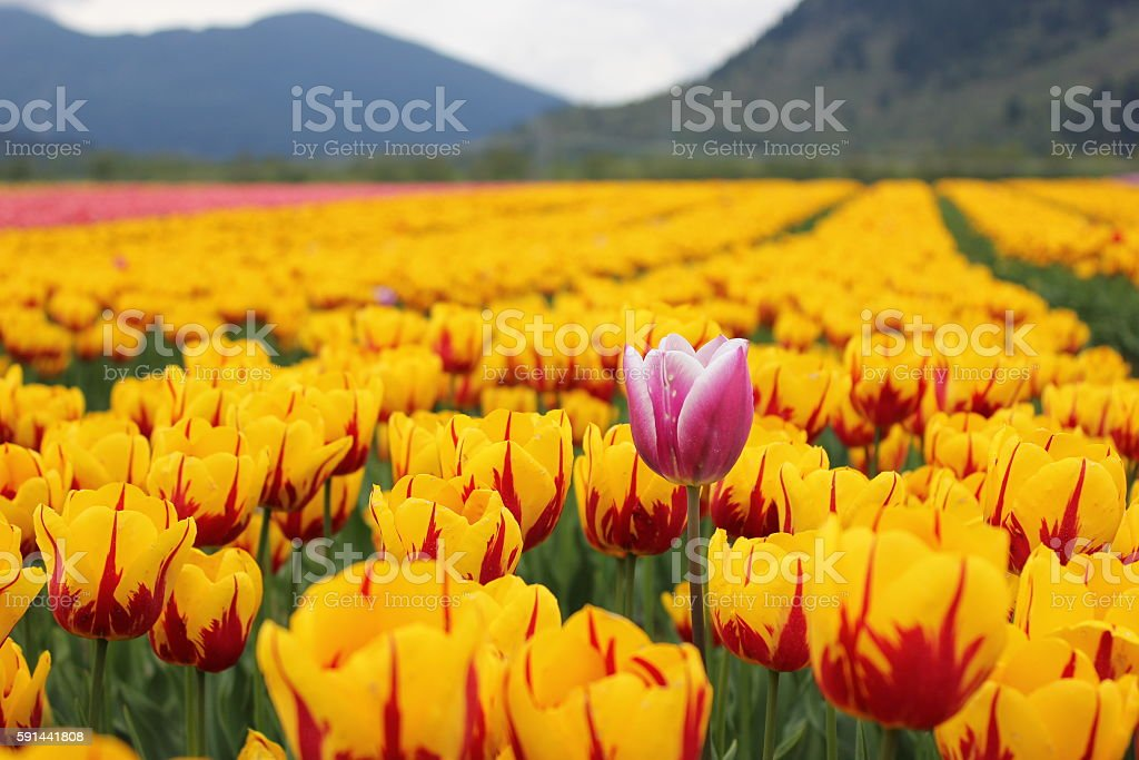 One pink & white tulip surrounded by yellow ones stock photo