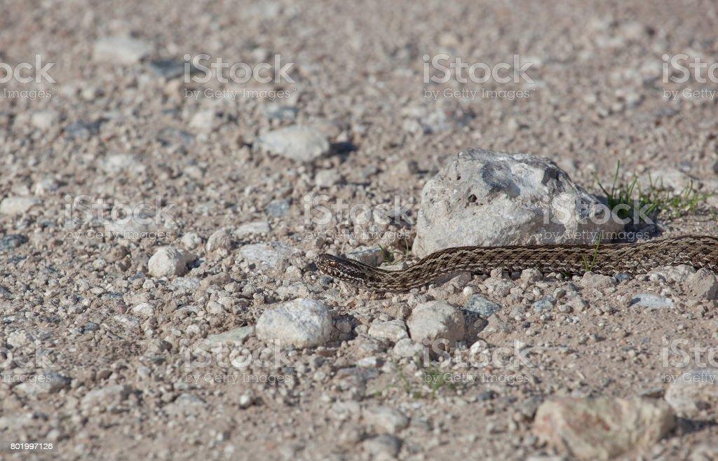 One poisonous viper on a stone plain stock photo