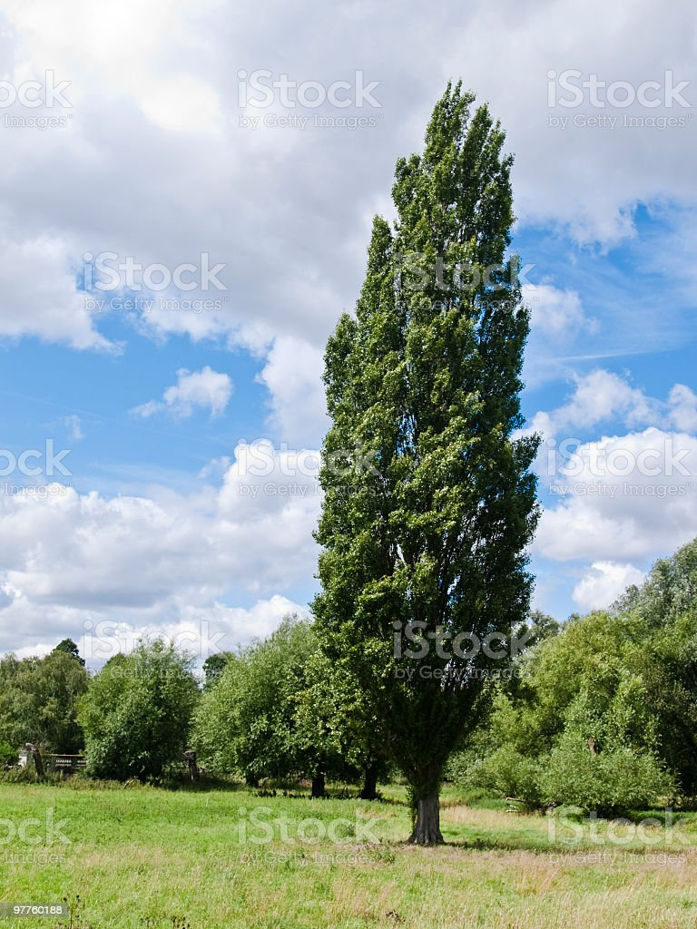 one poplar stand in  front of other trees stock photo