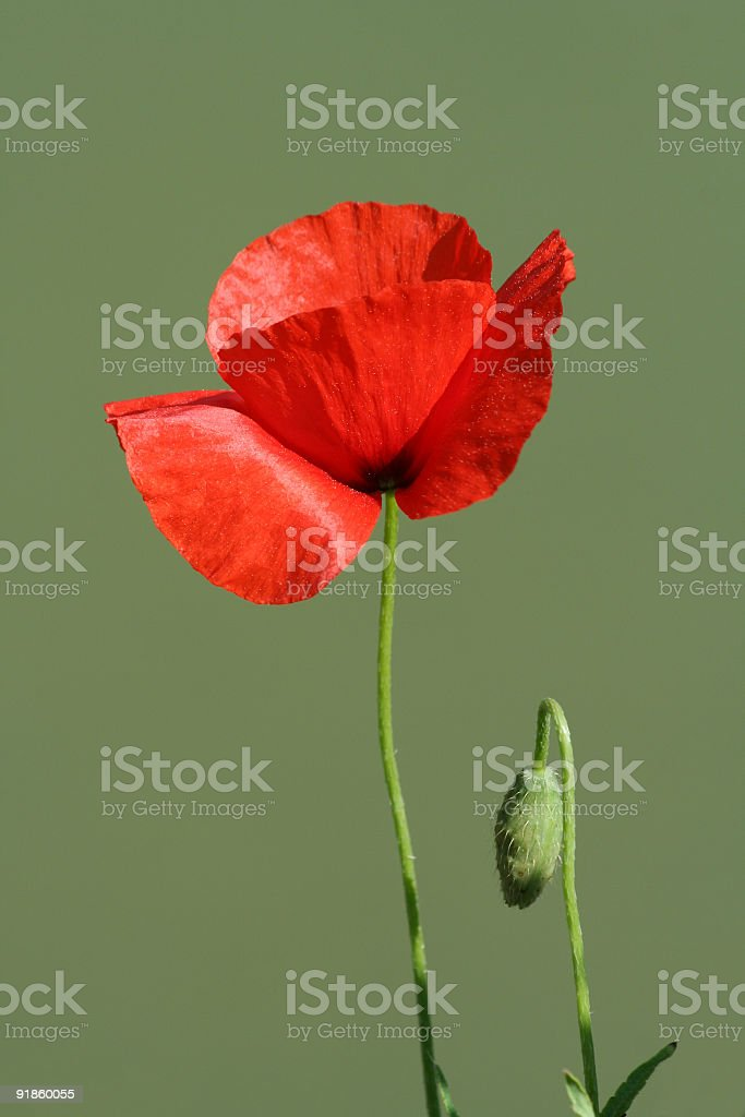 One poppy and a bud in Rome royalty-free stock photo