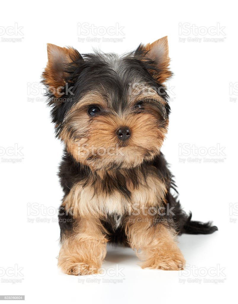 One puppy on white stock photo