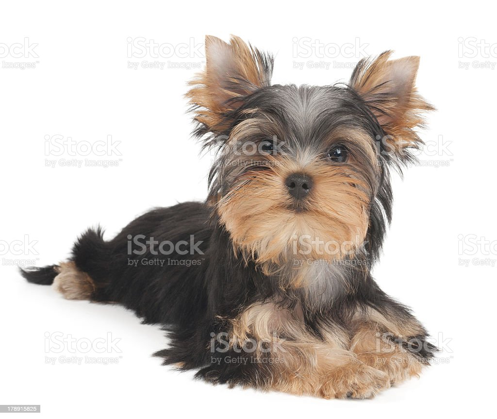 One puppy royalty-free stock photo