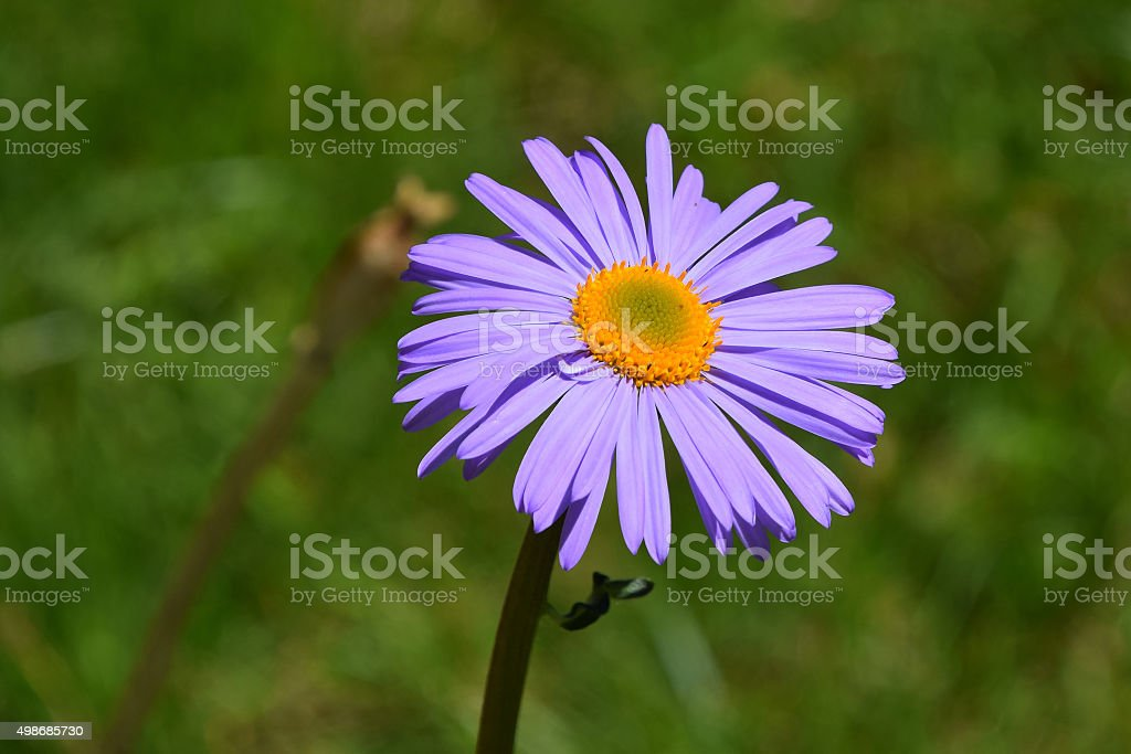 One purple Alpine aster flower on background of green grass royalty-free stock photo