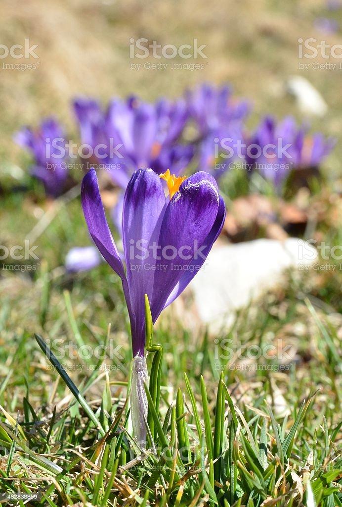 One Purple Crocuse flower royalty-free stock photo