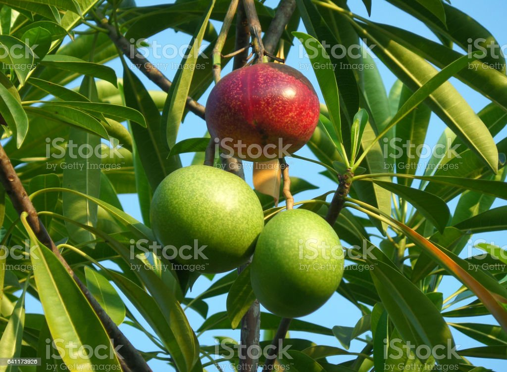 One Red and a Pair of Green Fruits of the Pong-Pong Tree stock photo