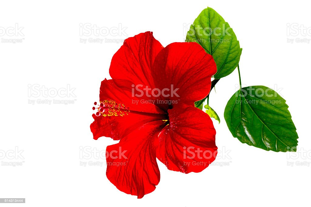 One red hibiscus on a white background stock photo