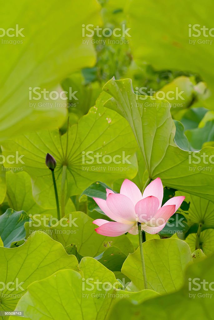 One red lotus surround by green leaf royalty-free stock photo