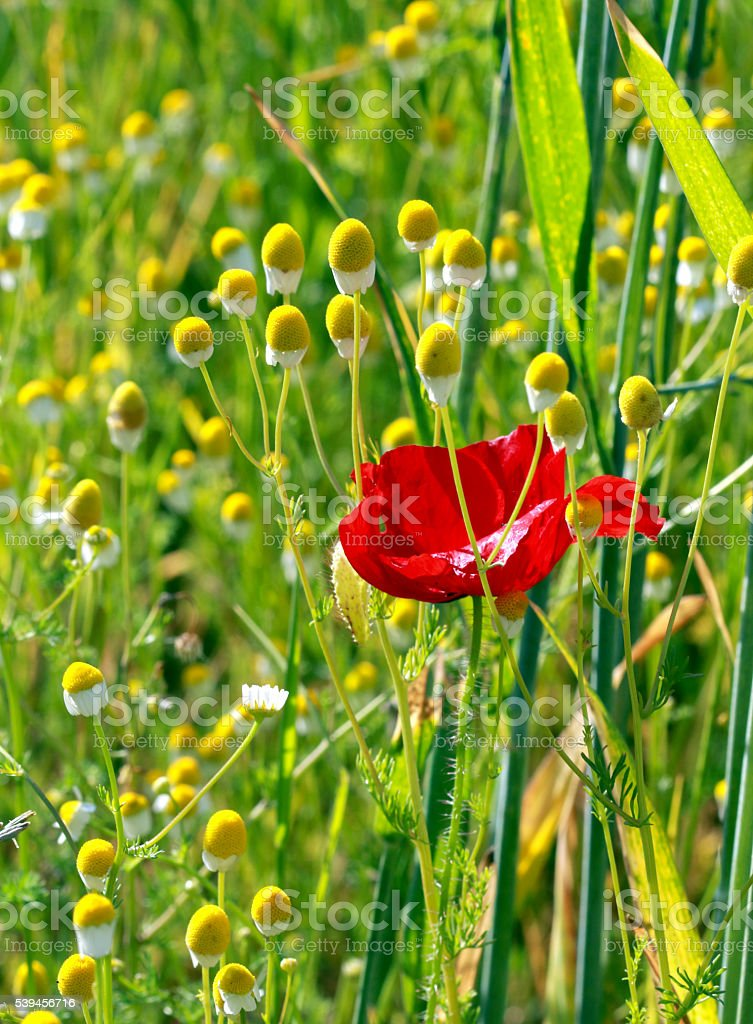 One red poppy and many chamomilles stock photo