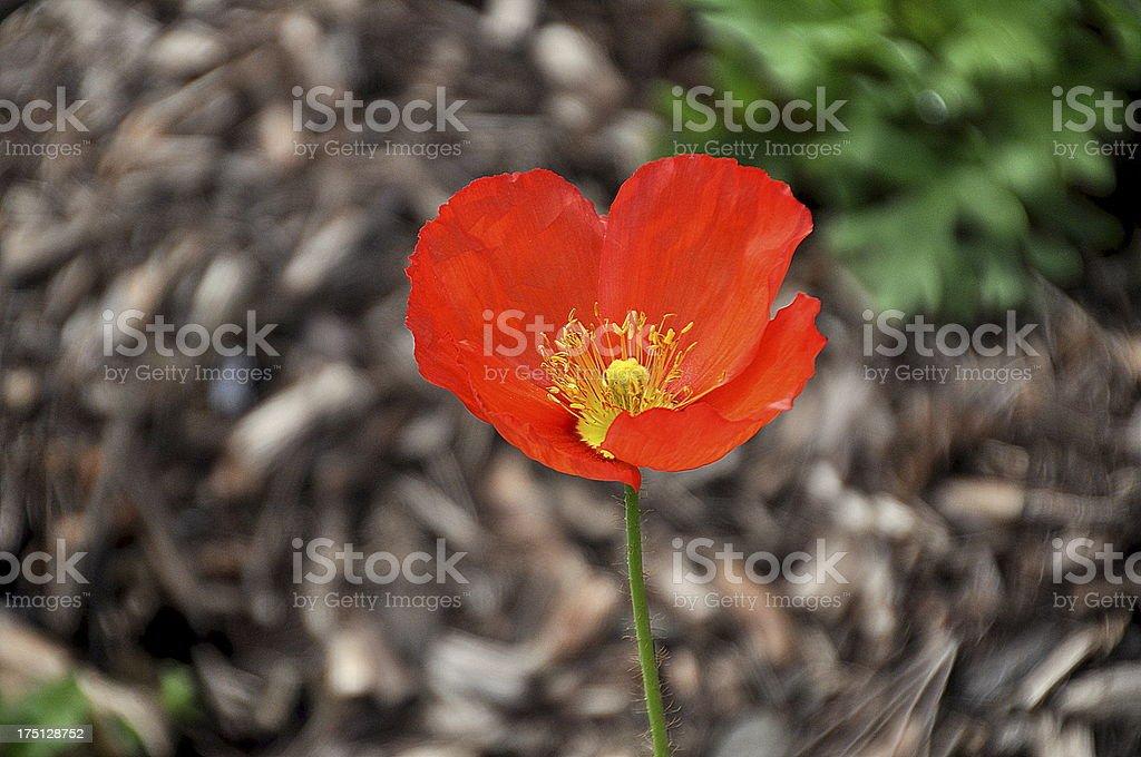 One Red Poppy Flower royalty-free stock photo