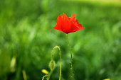 One red poppy in the green grass