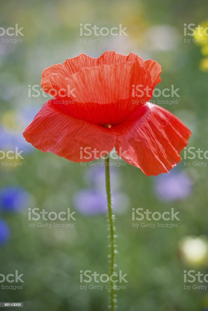 One red poppy royalty-free stock photo