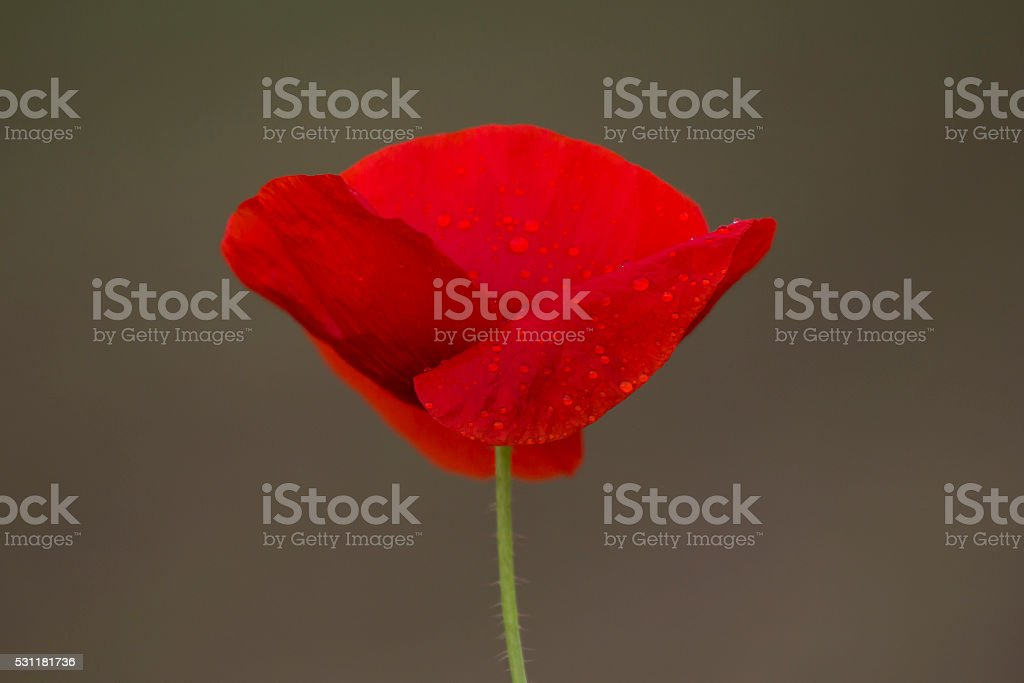 One red poppy with raindrops isolated stock photo