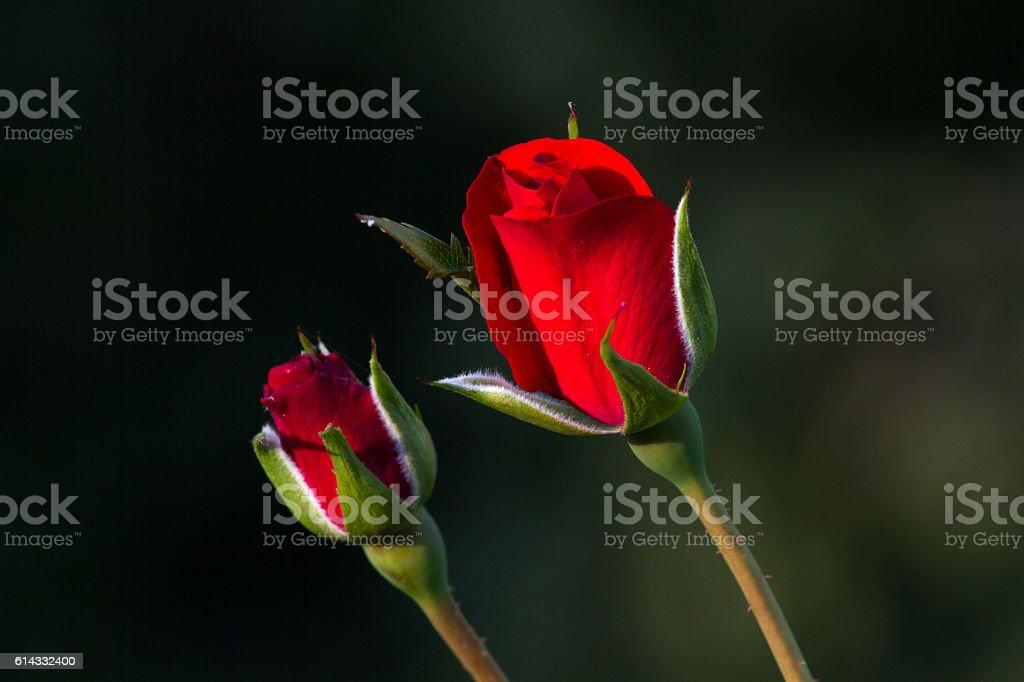 One red rose bud in the garden. Summer love  flower stock photo