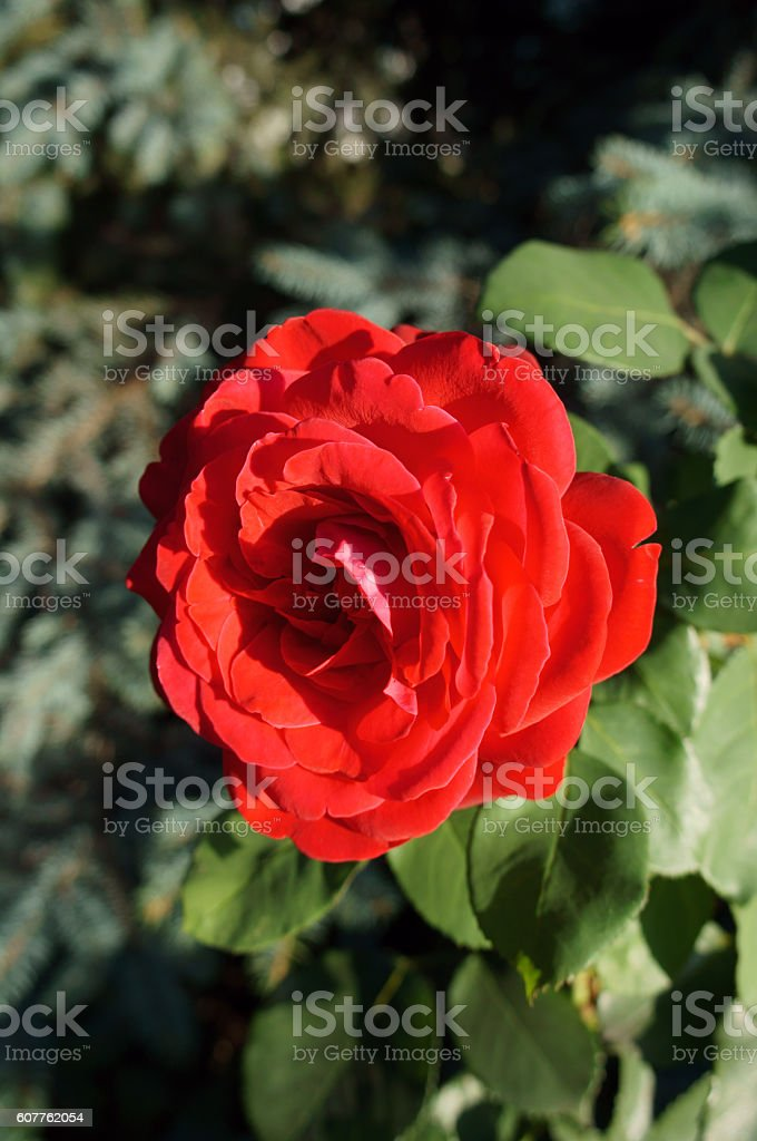 One red rose flower stock photo