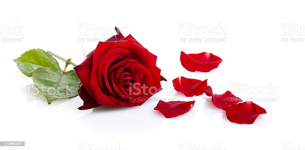 One red rose isolated on white royalty-free stock photo