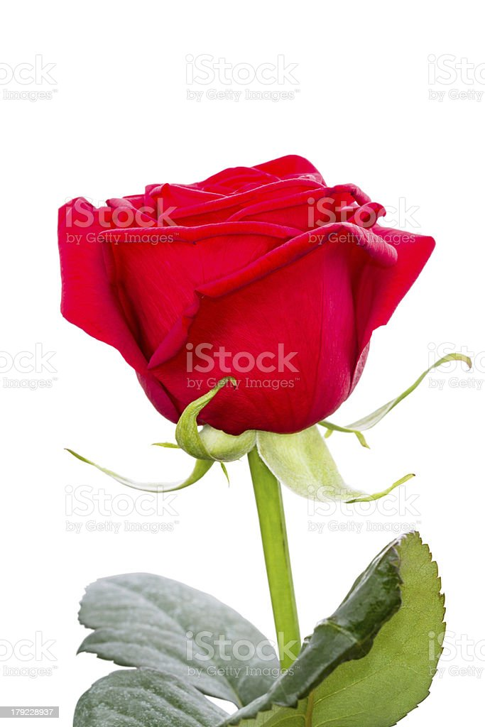One red rose royalty-free stock photo