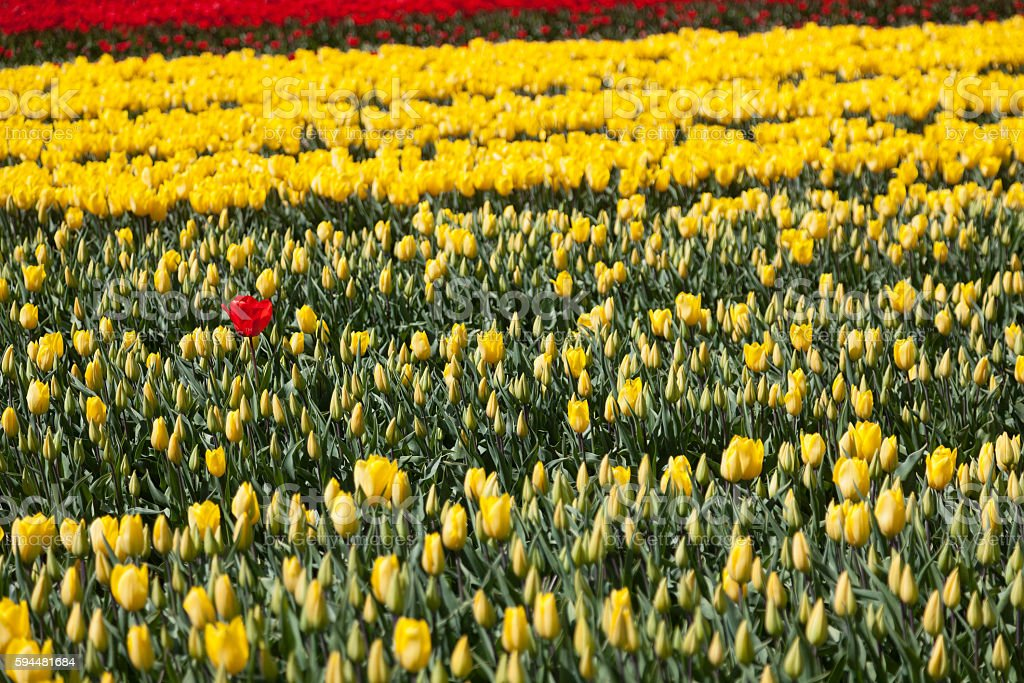 one red tulip between a lot of yellow flowers stock photo