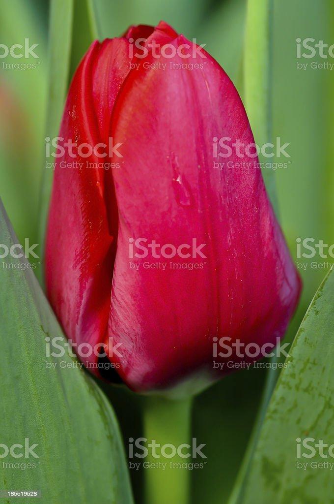 One Red Tulip stock photo