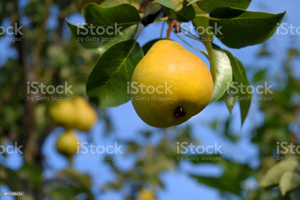 One ripe yellow pear hanging from a tree stock photo