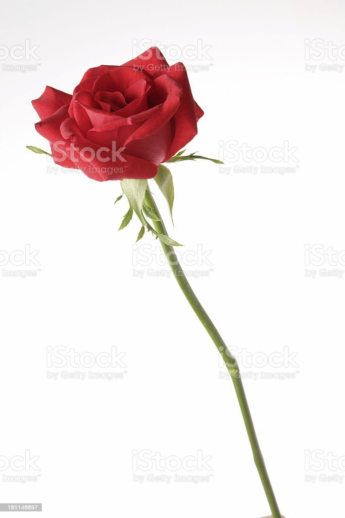 Una rosa foto stock royalty-free