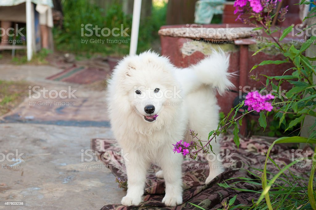 one samoed dog puppy white stock photo