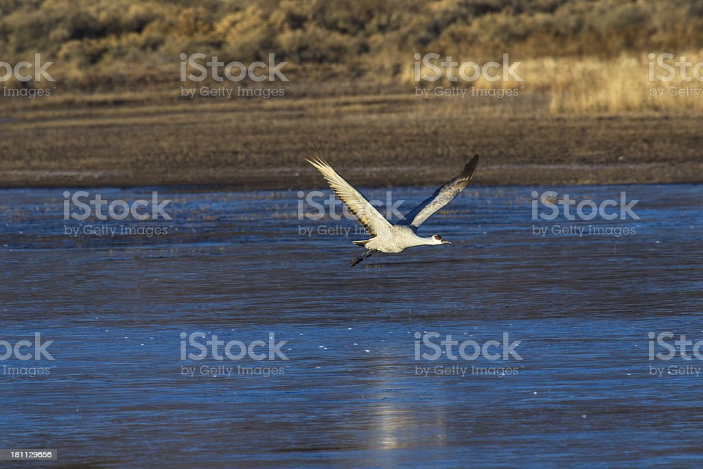 One Sandhill Crane flying at sunrise royalty-free stock photo