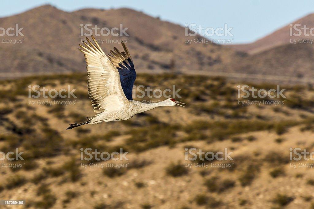 One Sandhill Crane flying royalty-free stock photo