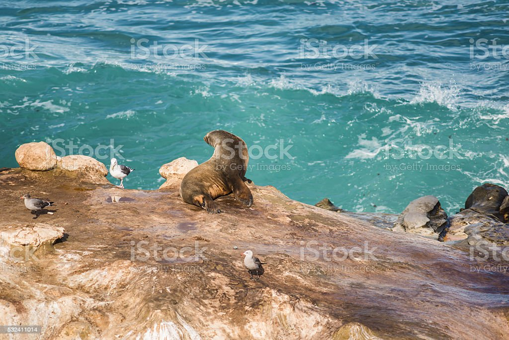 One sea lion sun bathing with arched back stock photo
