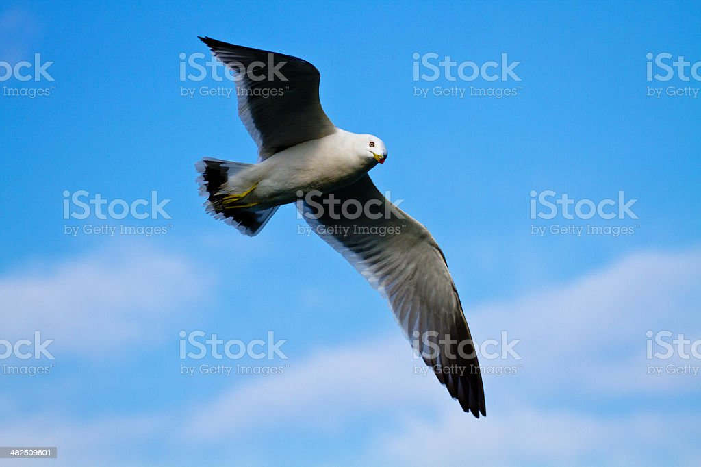 one seagull (Larus crassirostris) fly in blue sky stock photo