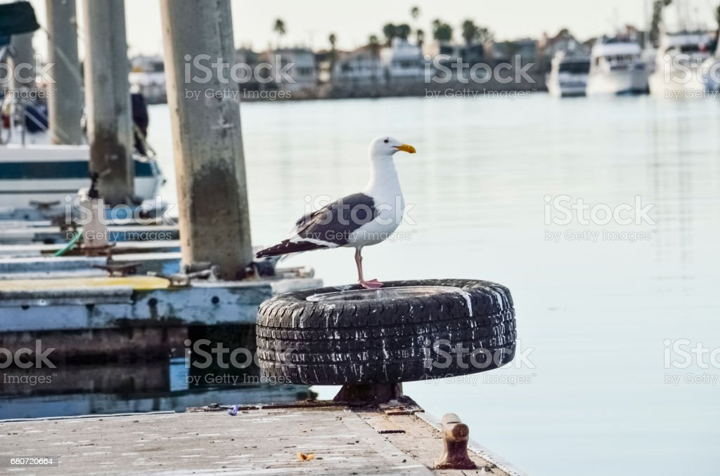One seagull standing on pier in Oxnard harbor with boats stock photo