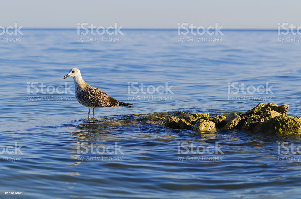 one seagull stending on steady stones in a sea royalty-free stock photo