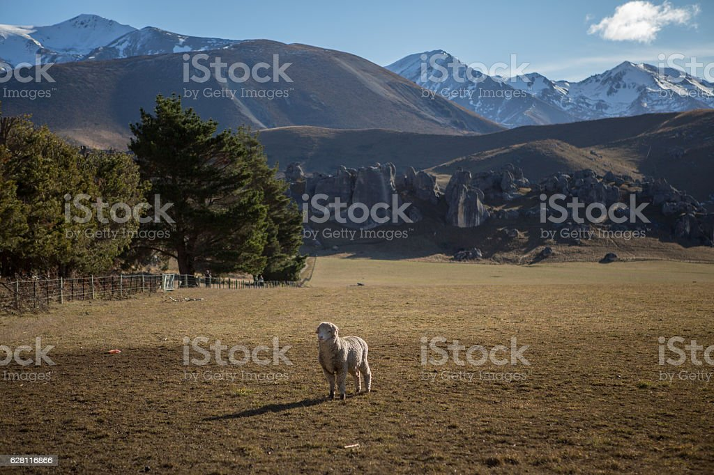 One sheep in meadow with snowcapped mountain in background – Foto