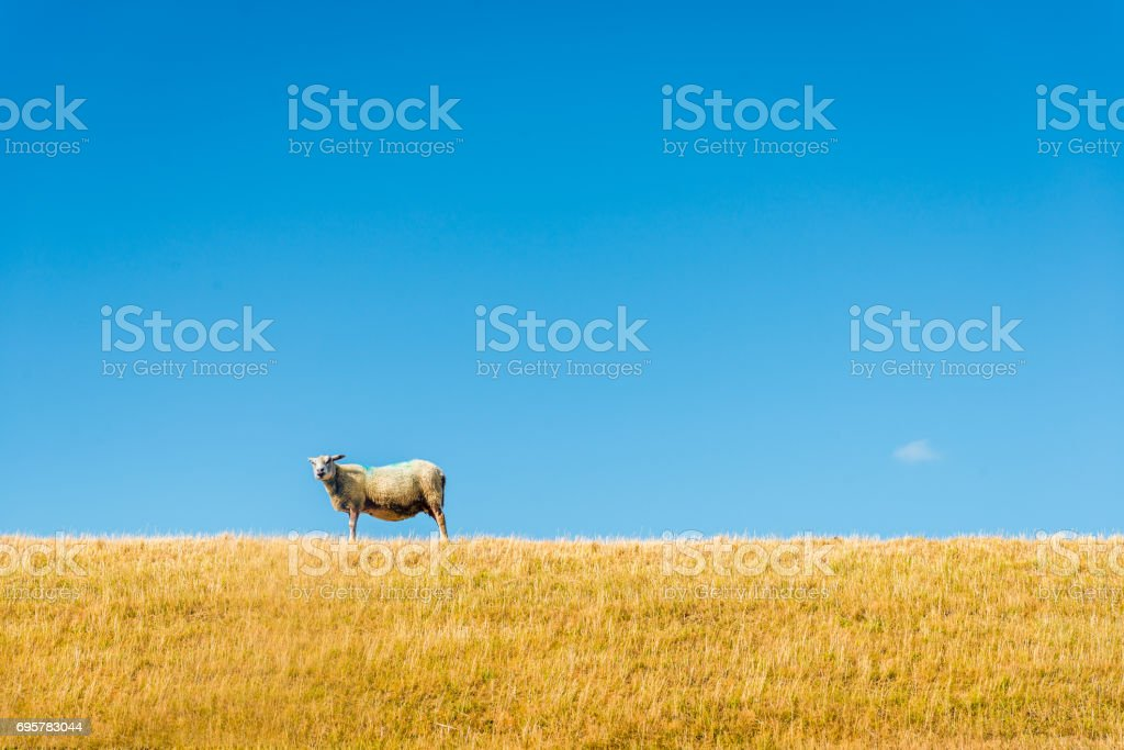 One sheep on top of a yellowed embankment against a bright blue sky stock photo