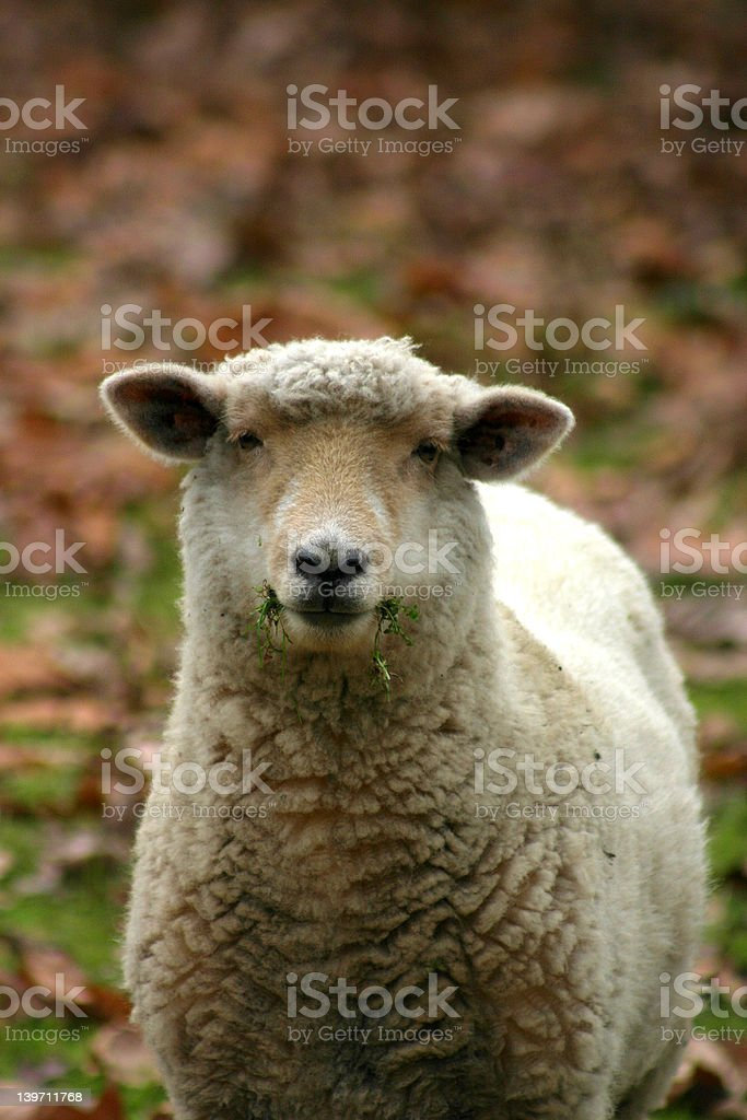 One Sheep royalty-free stock photo