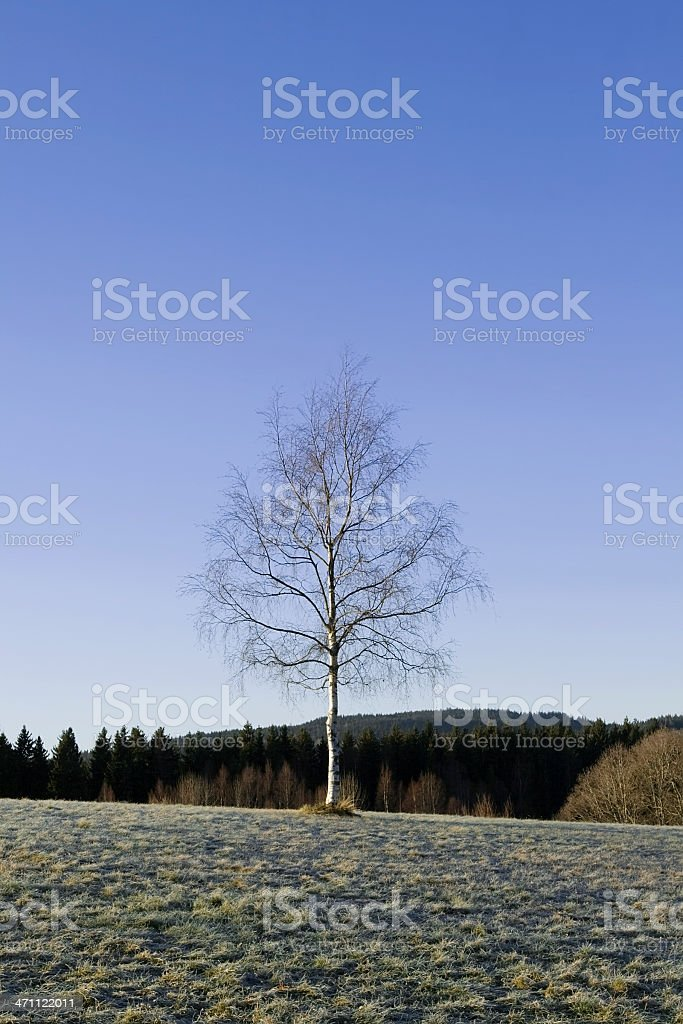 One single birch tree. stock photo