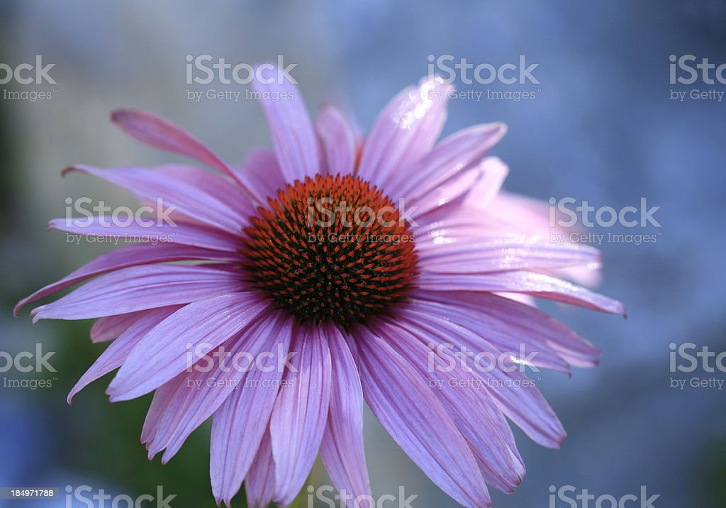 One Single Echinacea Coneflower royalty-free stock photo