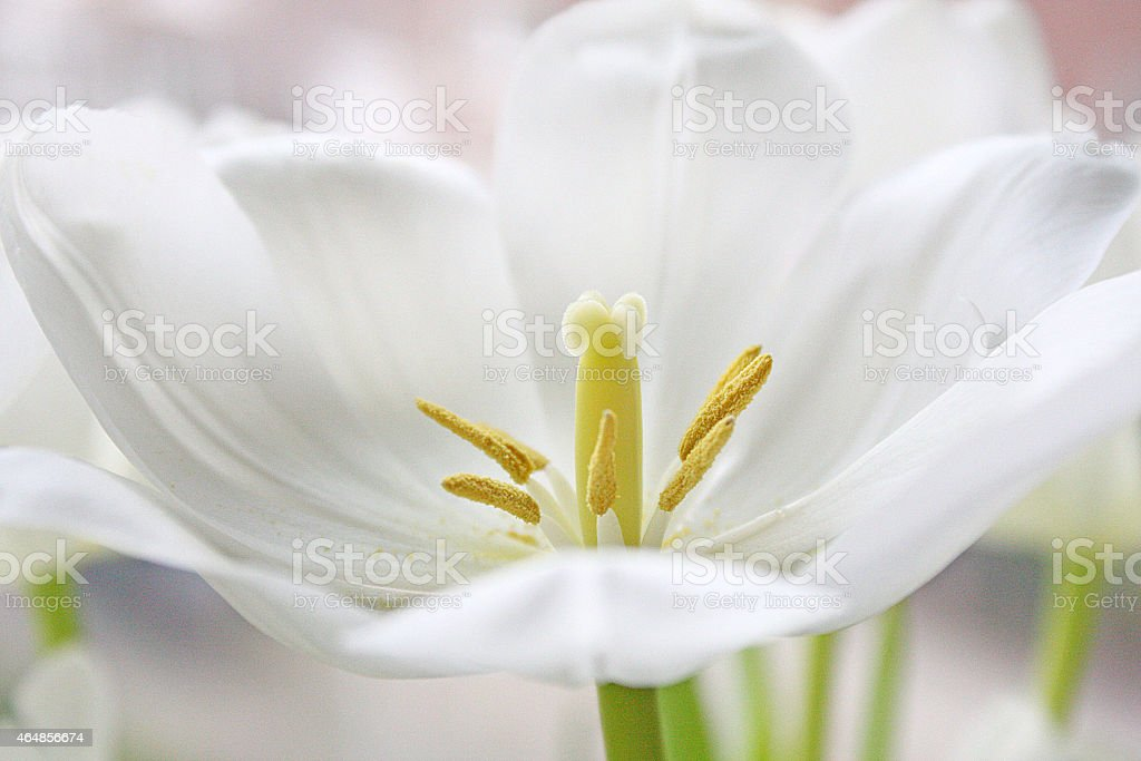 One Single Lilly stock photo