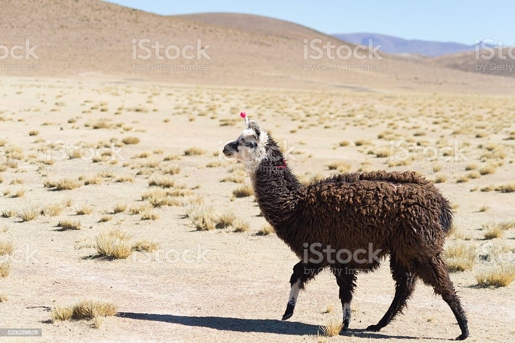 One single llama on the Andean highland in Bolivia stock photo