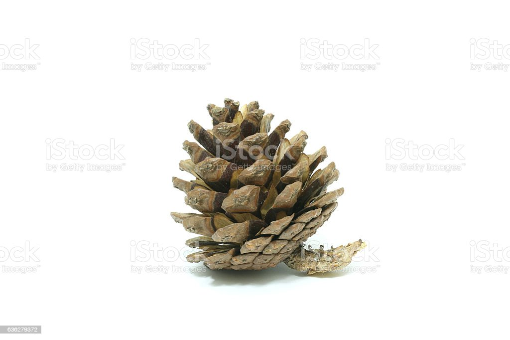 one single simple cone pine-tree isolated on white background stock photo