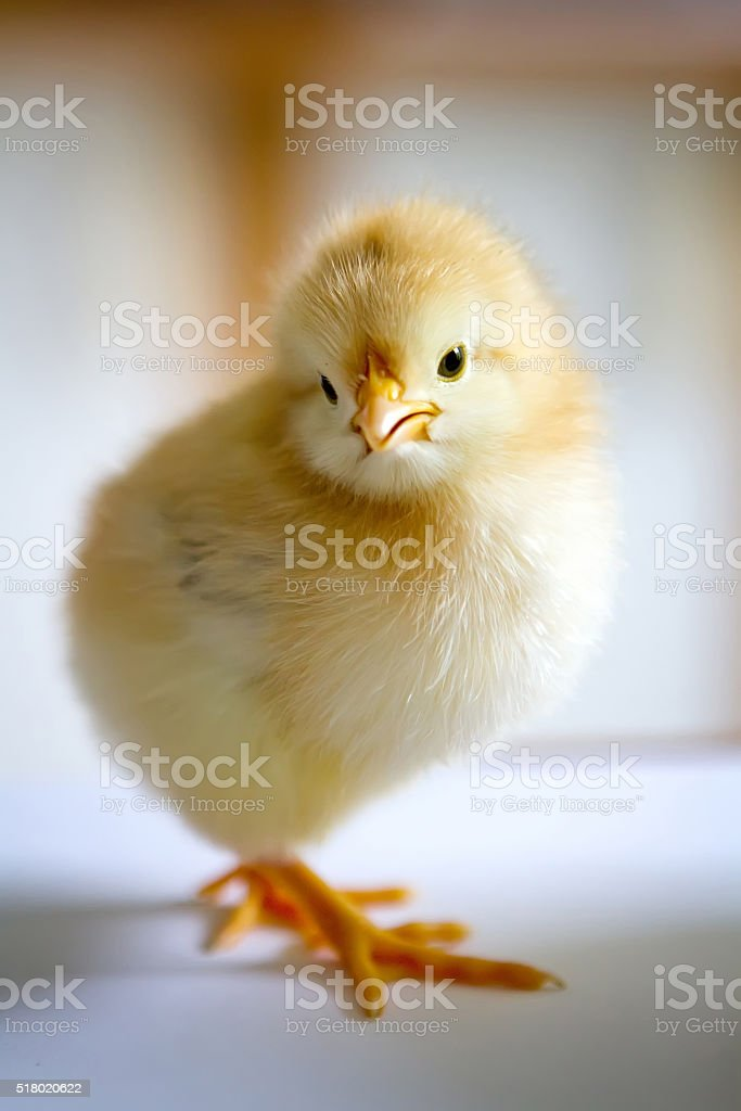 one small fluffy yellow chick standing in a half-turn stock photo