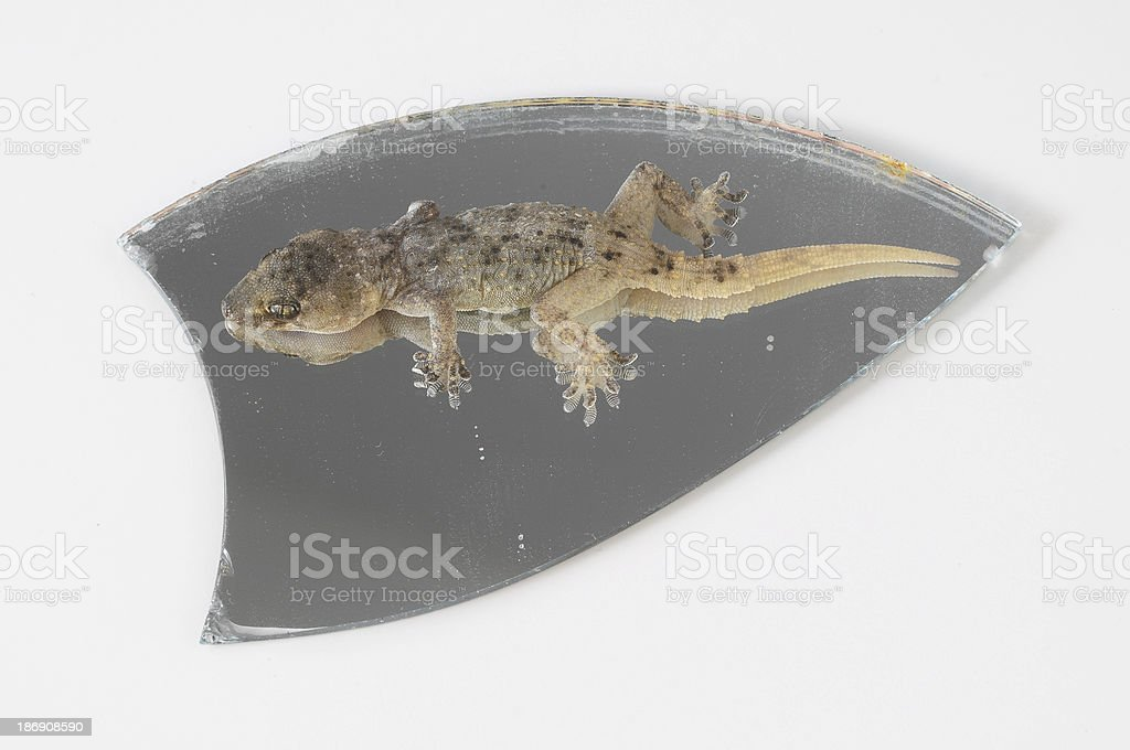 One Small Gecko Lizard and Mirror royalty-free stock photo