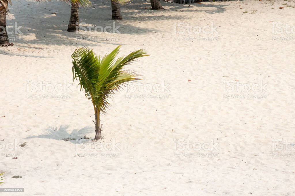 One small palm tree on a beach stock photo