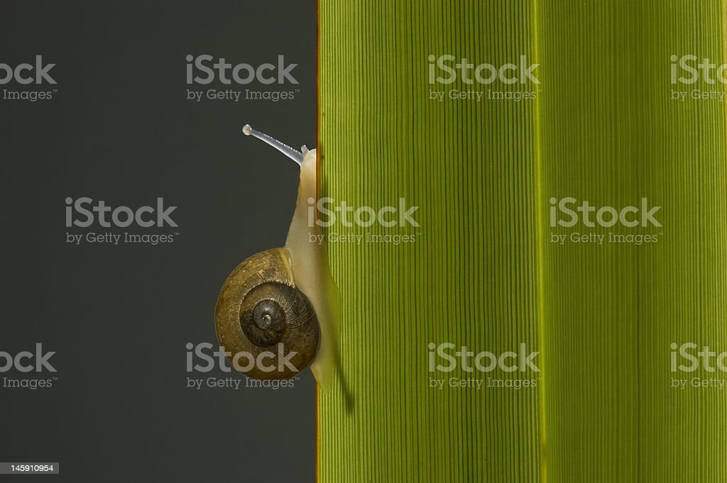 One snail climbing a leaf. royalty-free stock photo