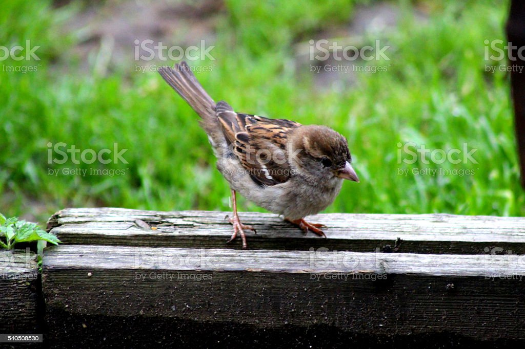 One sparrow fledgling sitting on garden fence, yorkshire stock photo