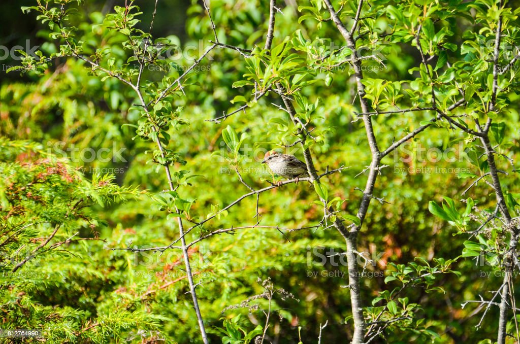 One sparrow perched on tree in Canada stock photo