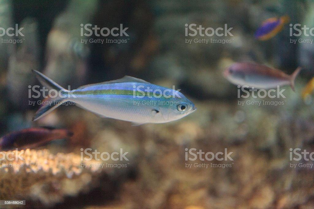 One stripe fusilier fish Pterocaesio tessellata stock photo