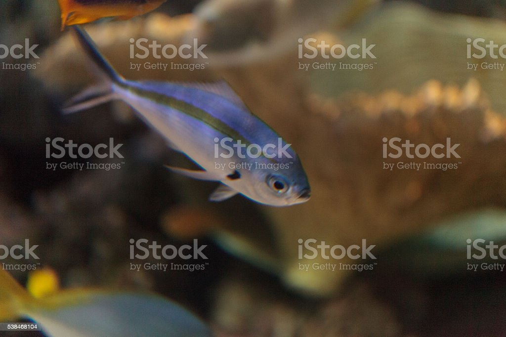 One stripe fusilier fish Pterocaesio tessellata stock photo