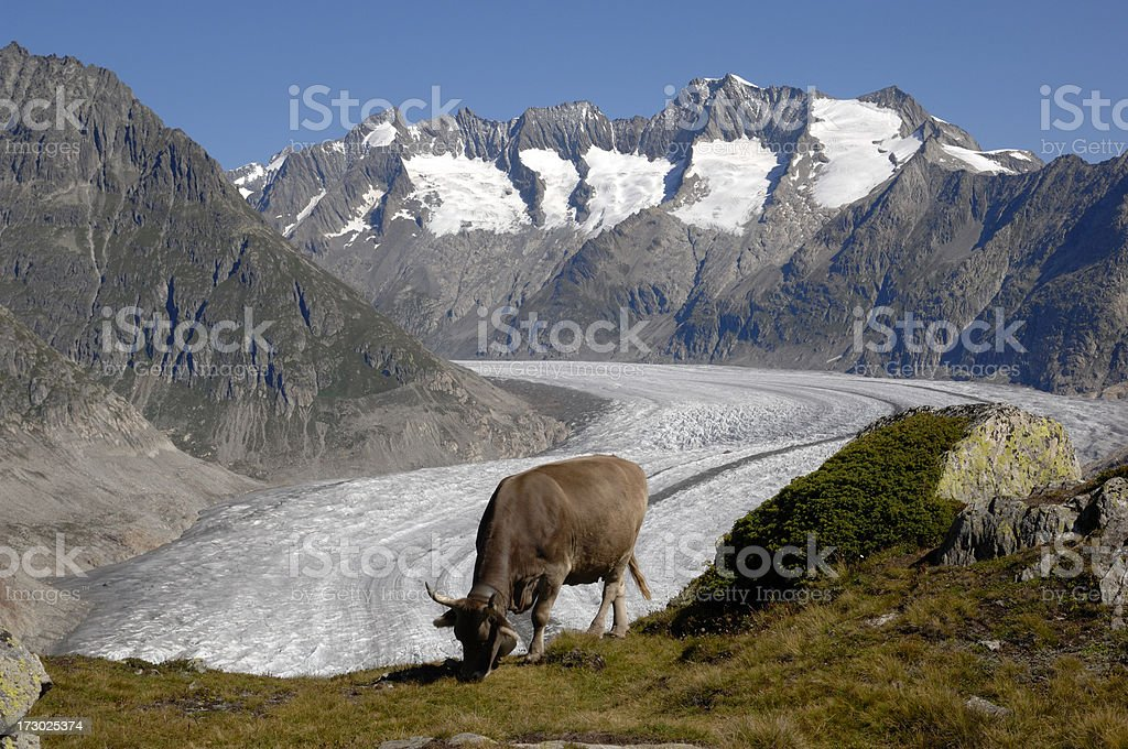 One swiss cow which grazes on the Alp stock photo