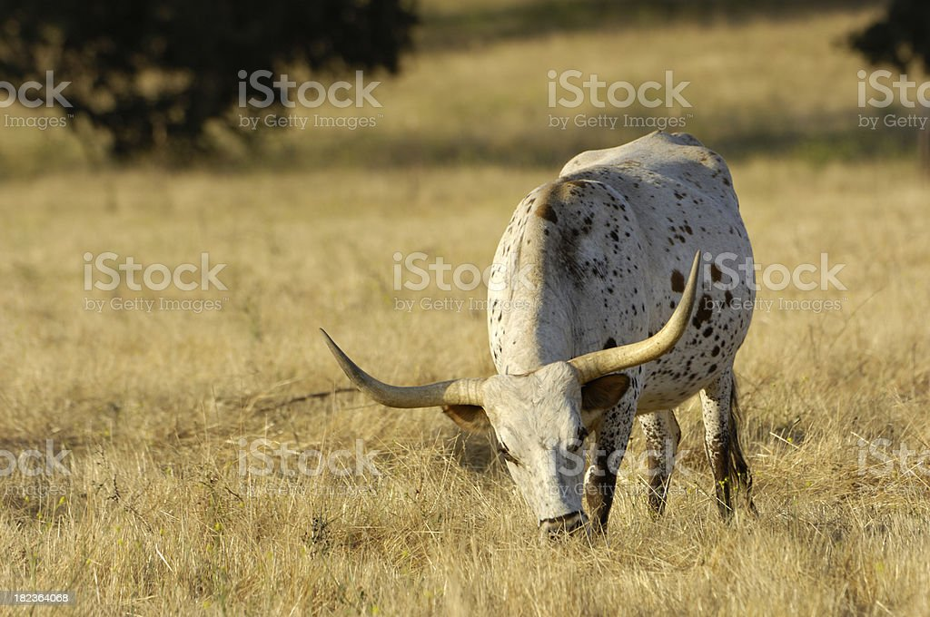 One Texas Longhorn Cow Grazing in Dry Grassland royalty-free stock photo